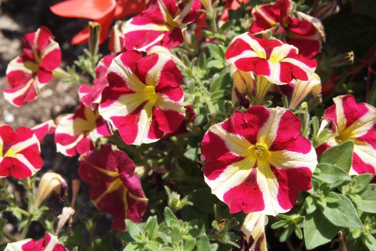 Supertunia Petunia