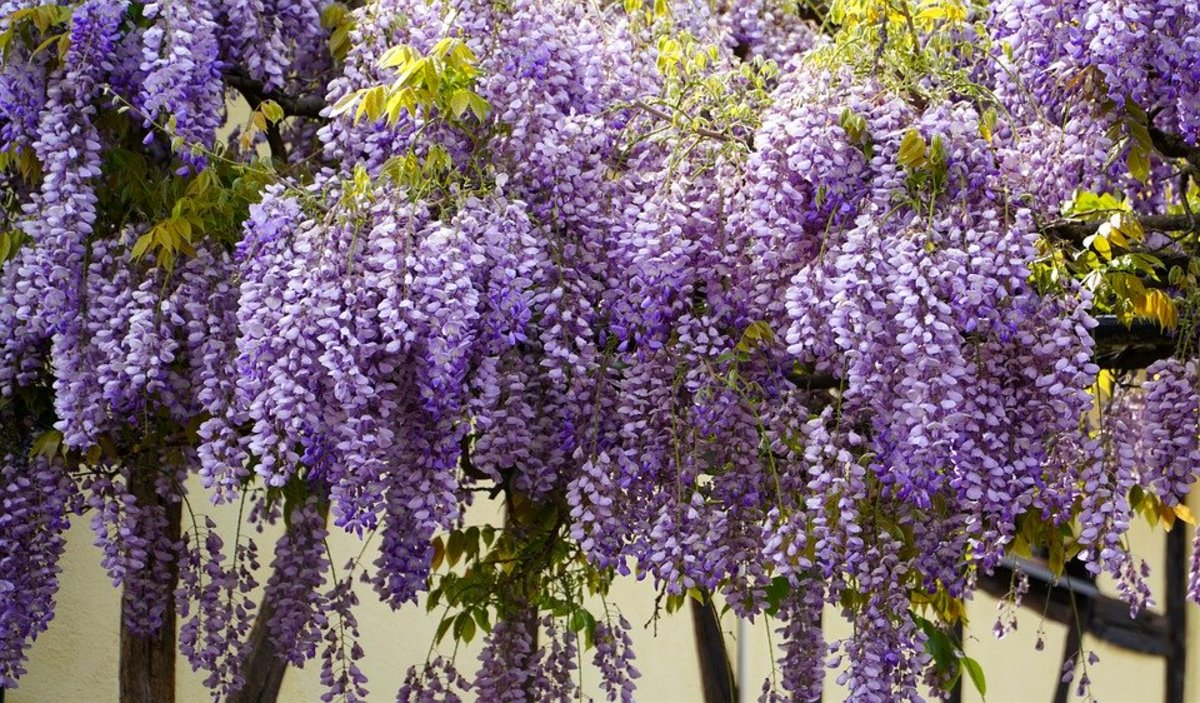 How to Grow Wisteria for Spring Color