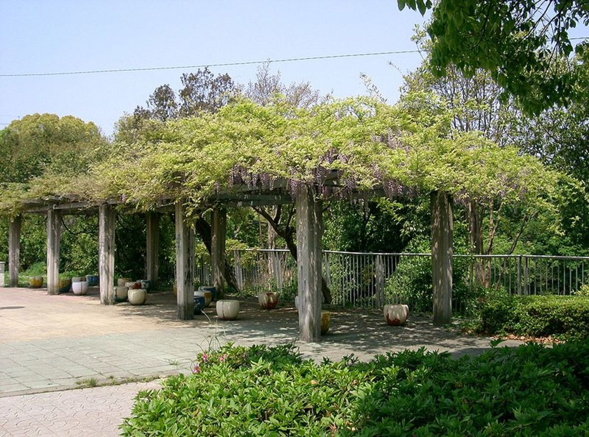 Wisteria growing on a sturdy arbor
