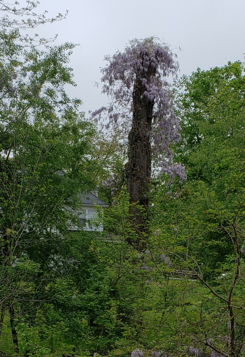 Asian wisteria which has escaped from a garden and naturalized in the landscape.