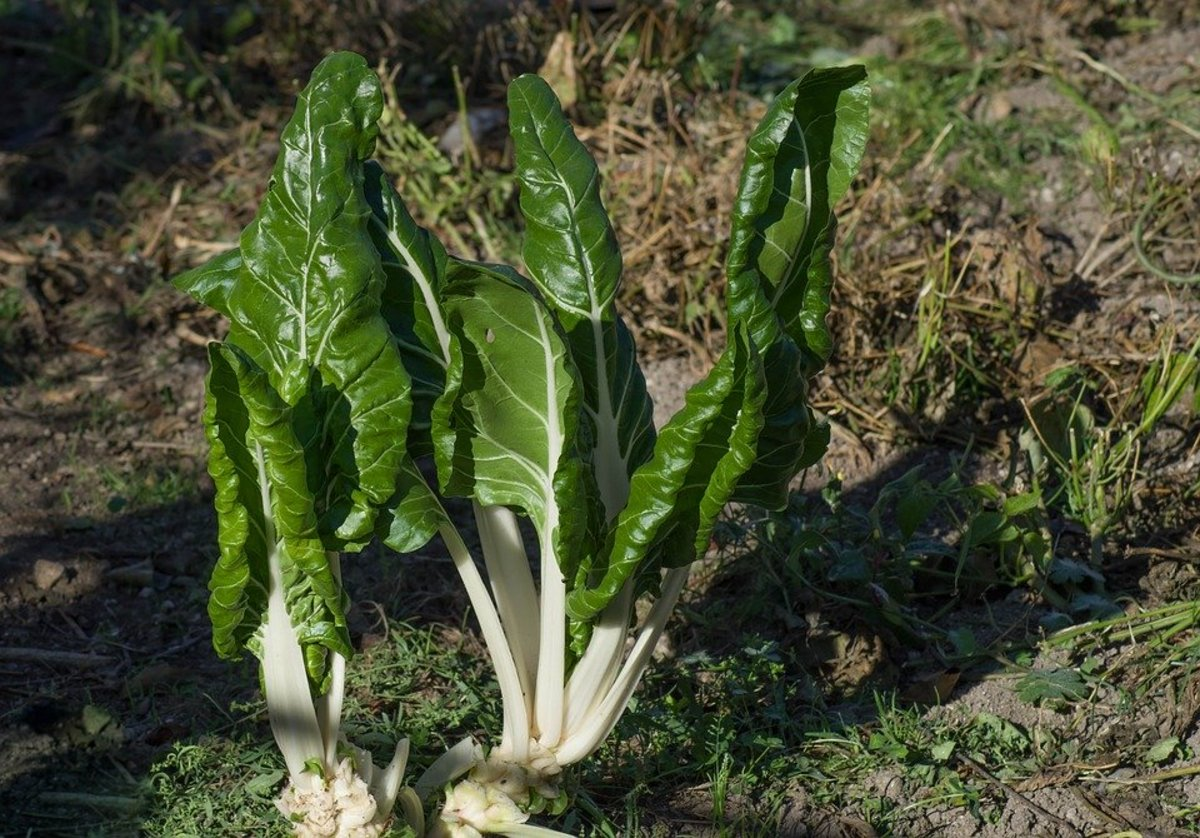 The leaves are usually harvested using the cut & come again method of just harvesting the outer leaves.