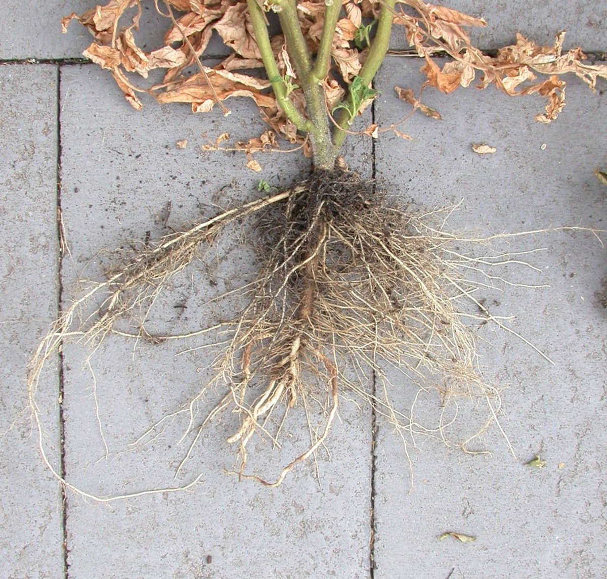 An effective root system on a determinate tomato variety. Notice the bunch of roots that have grown out of the buried stem.