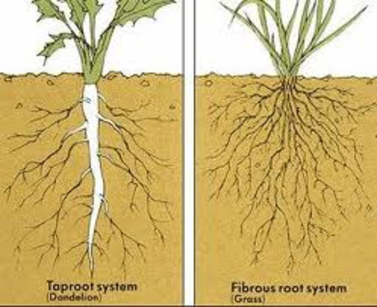 Tap root vs. fibrous root systems