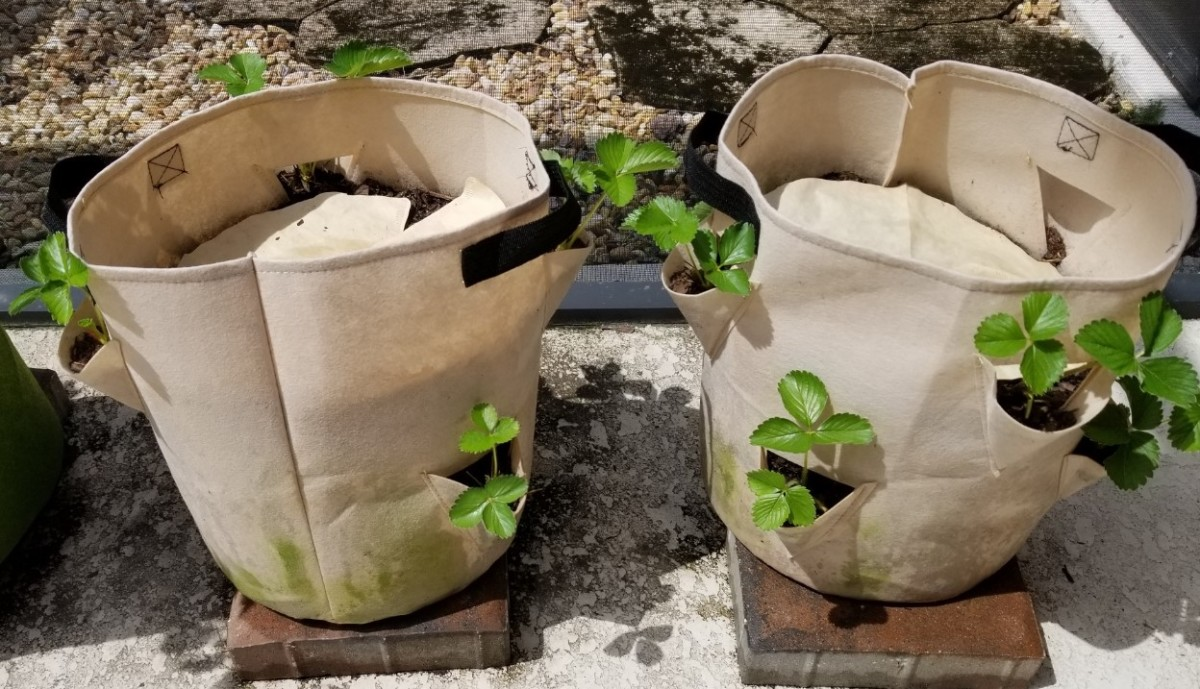 Bare-root plants after 1 week. The grow bag is designed especially for strawberries. May 28