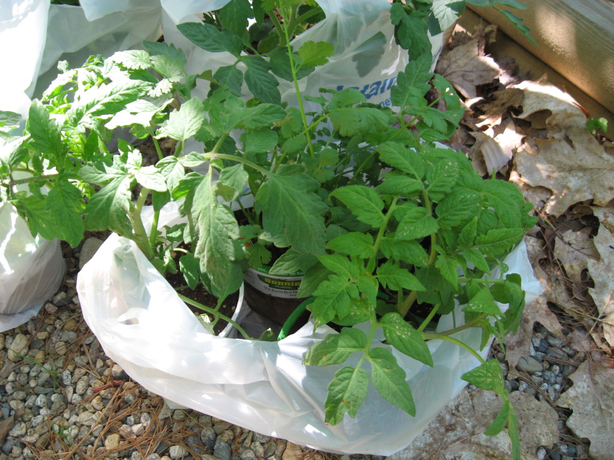 I prefer getting tomato plants, as you need a really long growing season to start tomatoes from seed.