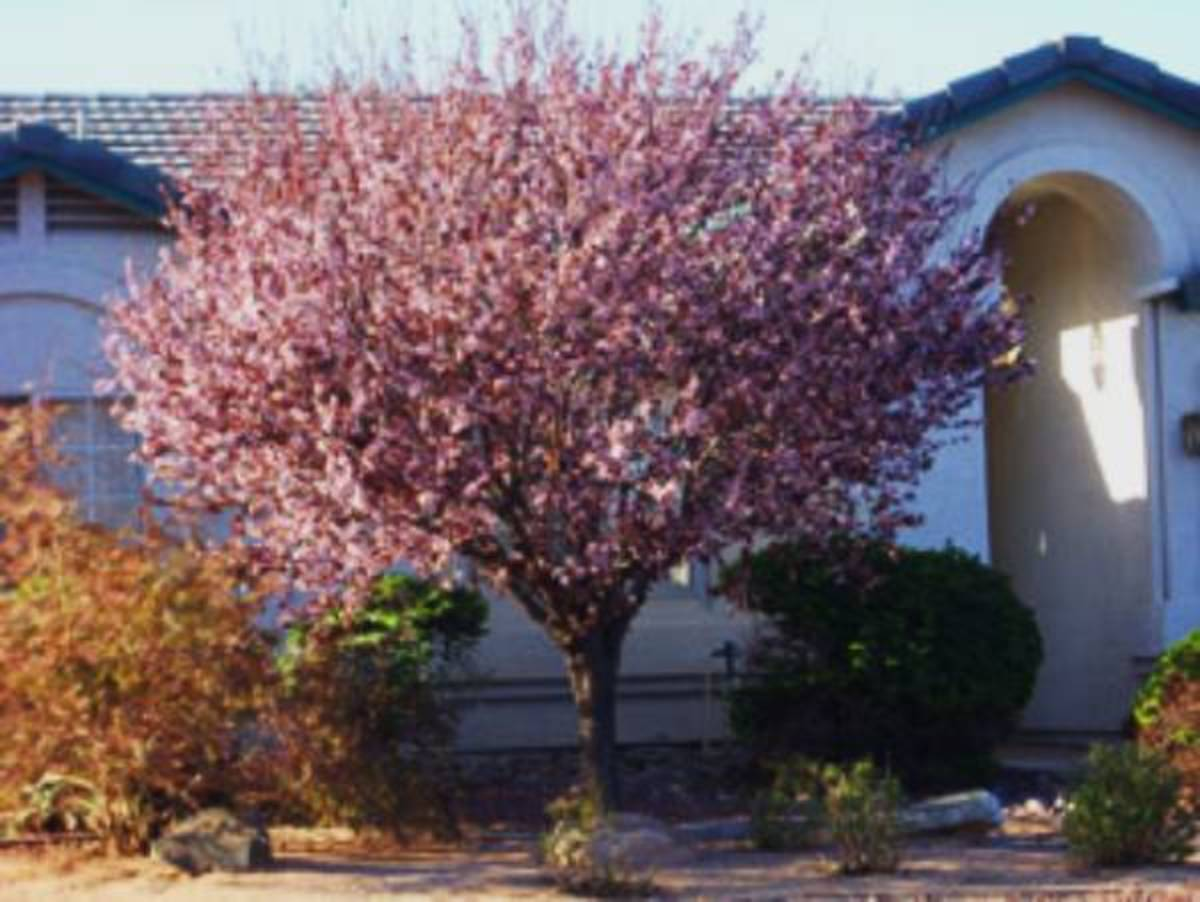This is a beautiful ornamental plum tree.
