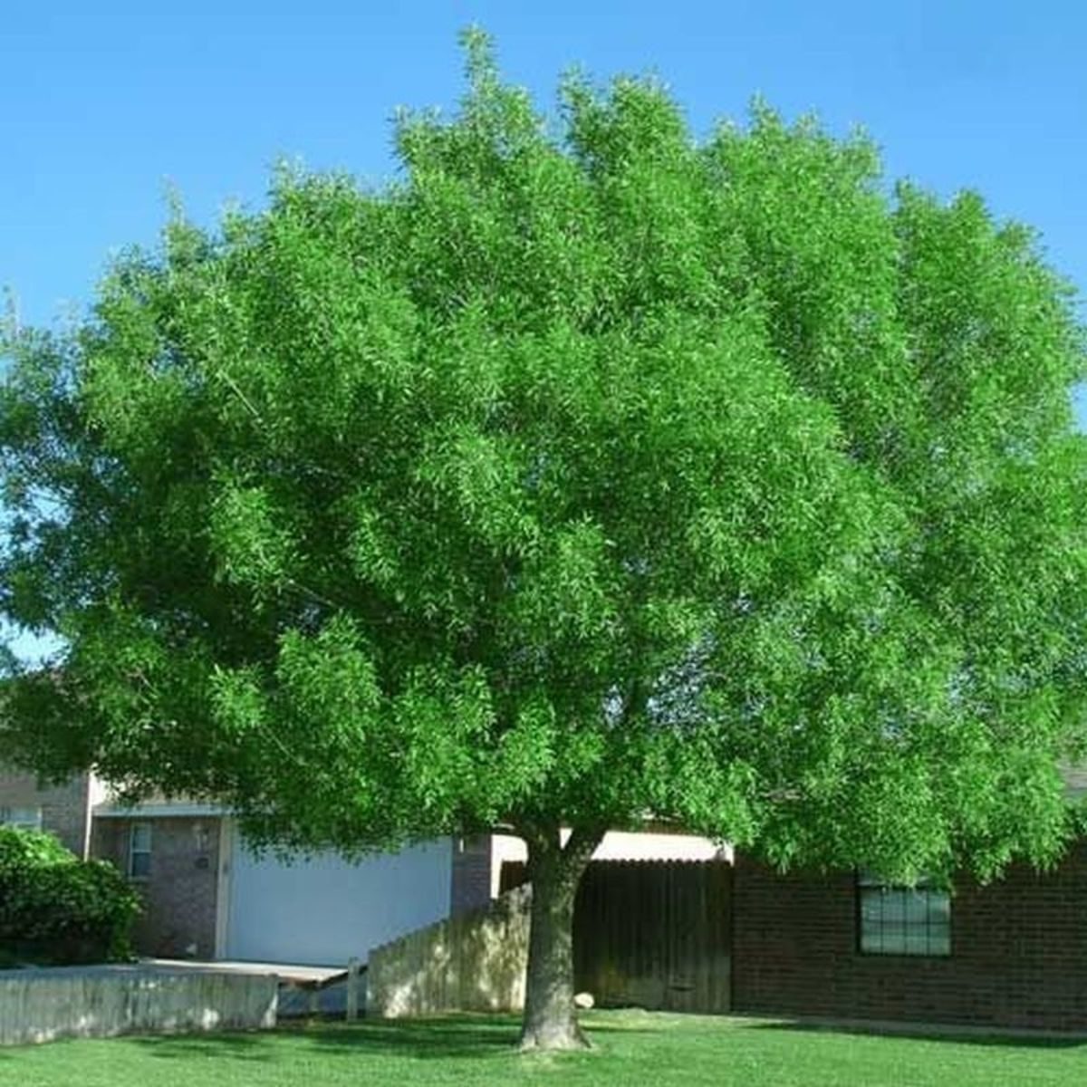 This Arizona ash is deciduous and drops leaves and thorns during the fall.