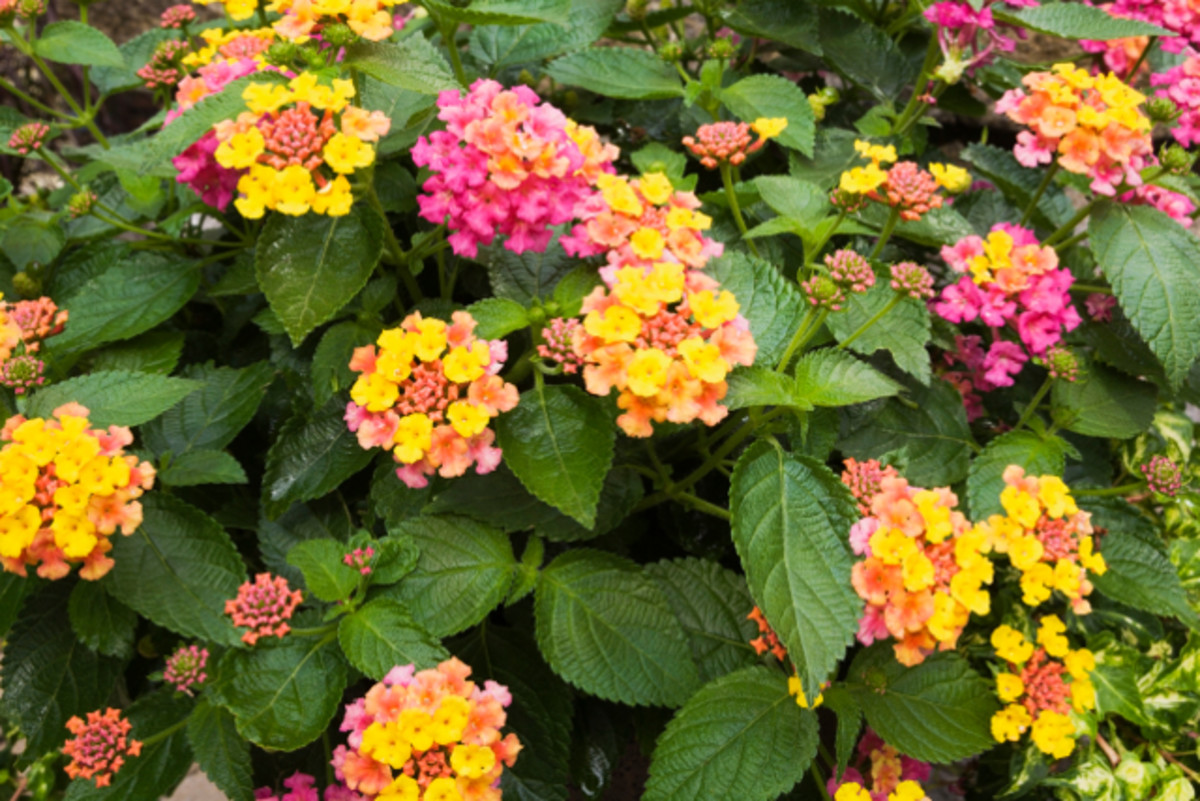 These lantana flowers have showy clusters  with multiple colors.