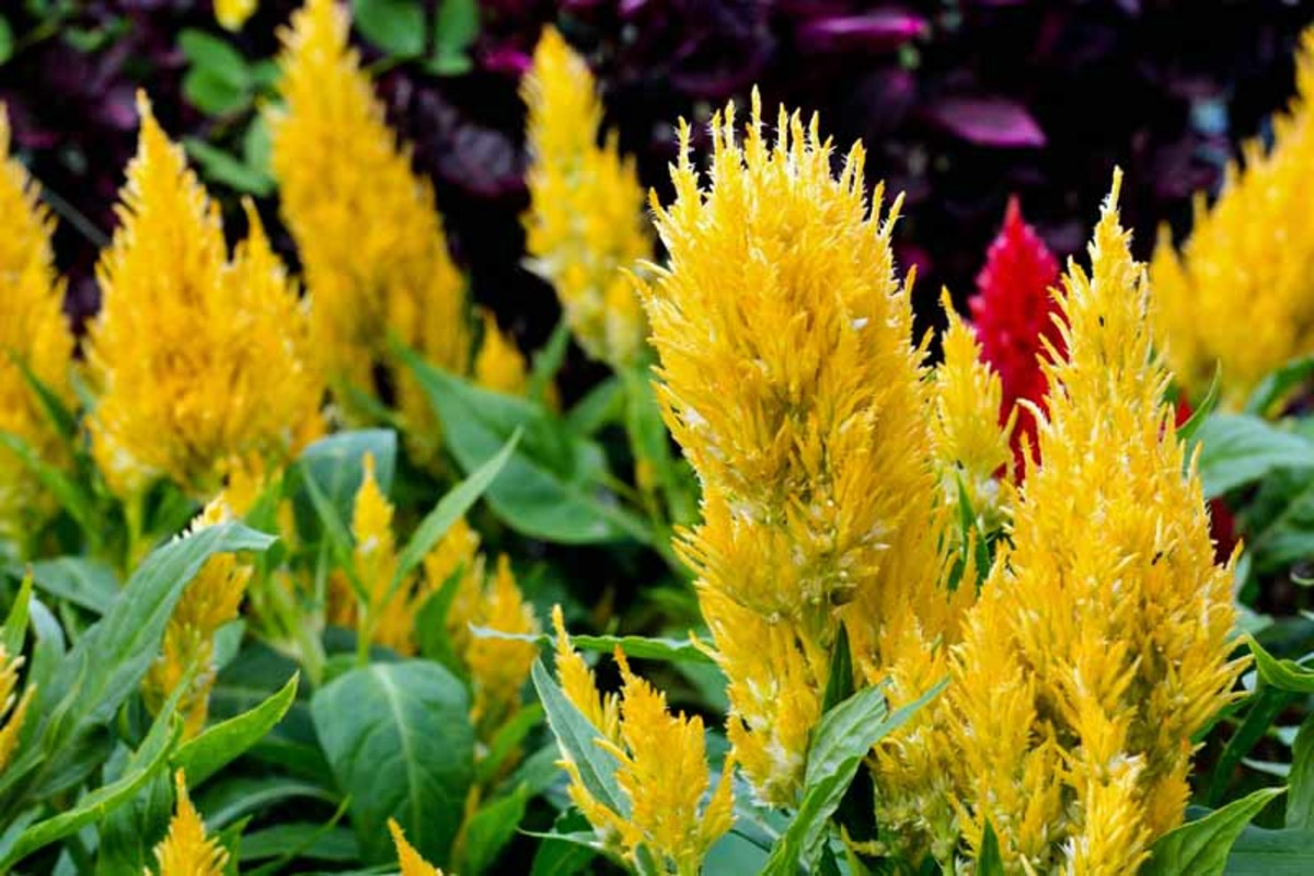 Celosia has wild and colorful plume flowers.