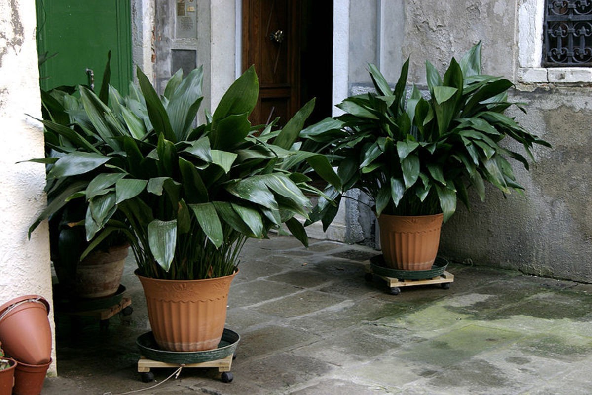 How to Grow Cast Iron Plant Indoors or Outdoors