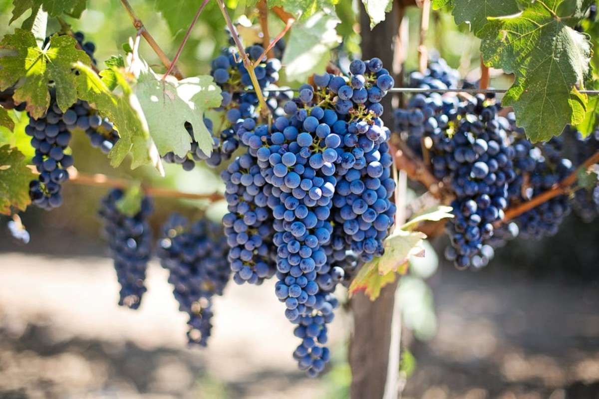 This guide will provide you with all the information you will need to start your own grape vineyard and produce healthy, delicious fruit.
