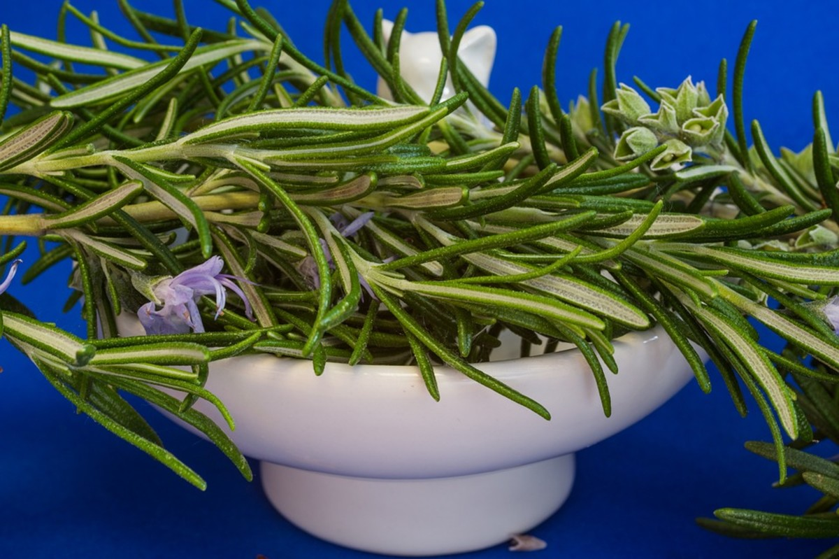 How to Grow Rosemary Like an Expert