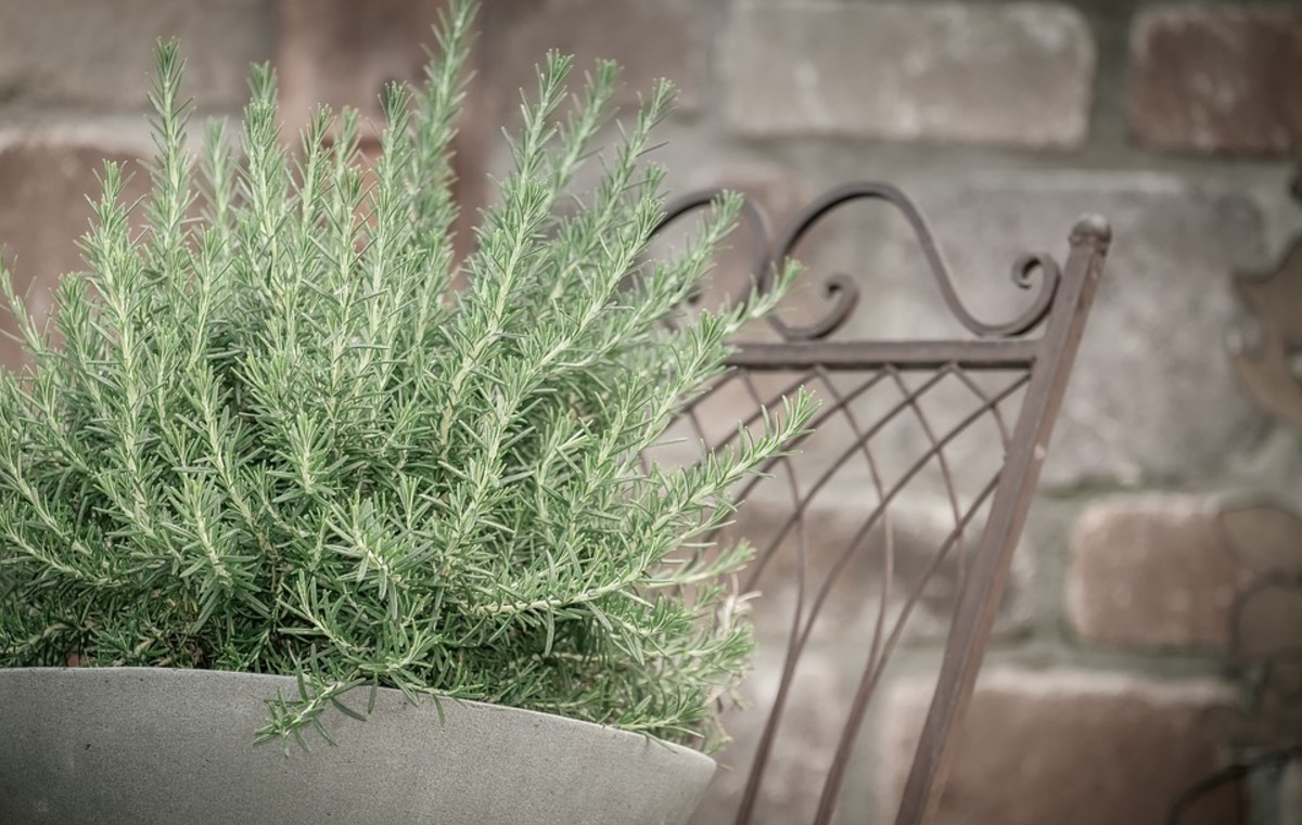 Rosemary is the perfect pot plant for a rustic decor.