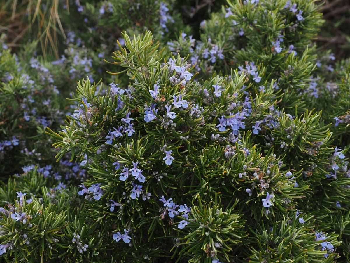 An established rosemary bush.