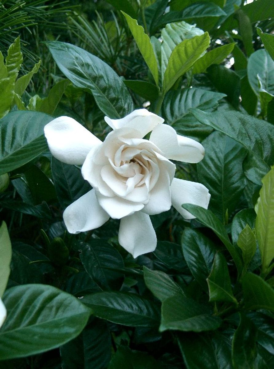 How to Grow Gardenias Indoors or Outdoors