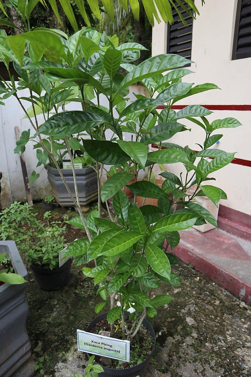 How to Grow Gardenias Indoors or Outdoors   Dengarden