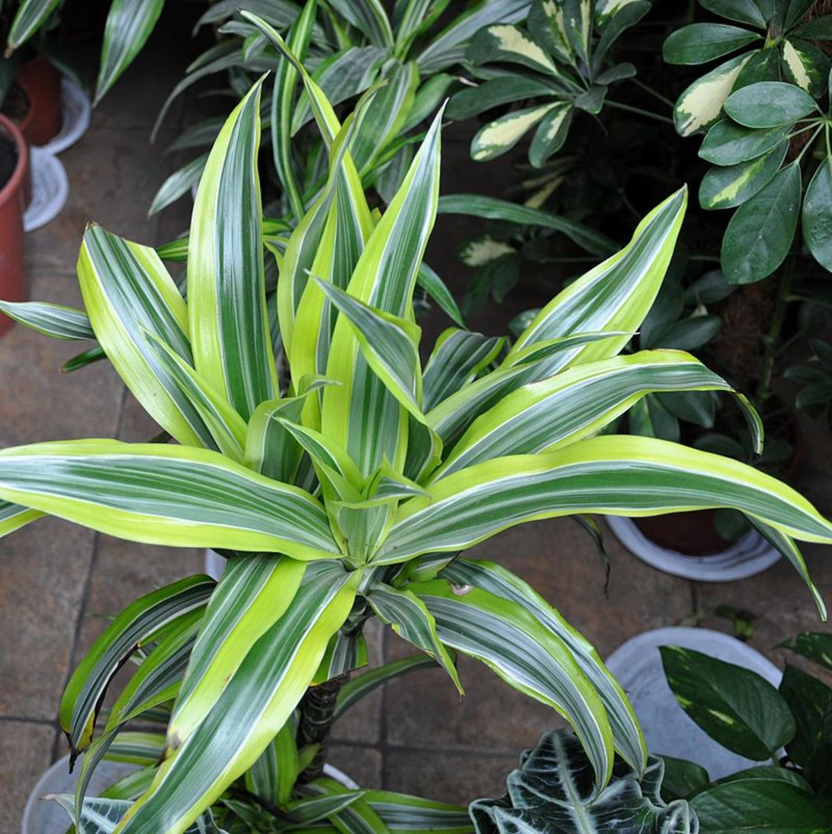 A cultivar with lime variegation.