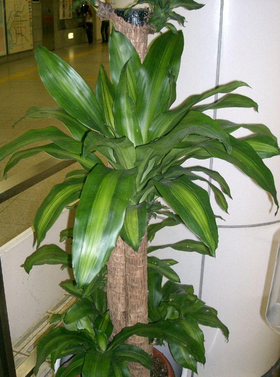 How to Grow a Corn Plant (Mass Cane)
