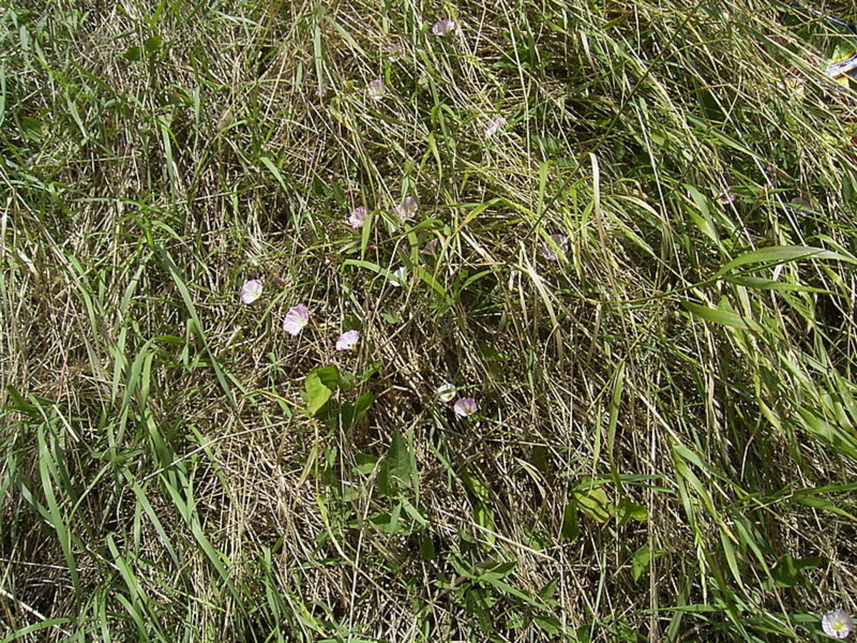 Bindweed spreads by sprawling across the ground until it finds something to climb.