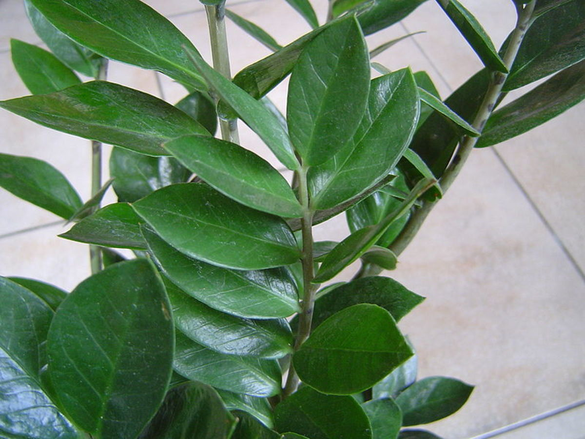 The leaves are made up of stems and leaflets that grow directly from the rhizome.