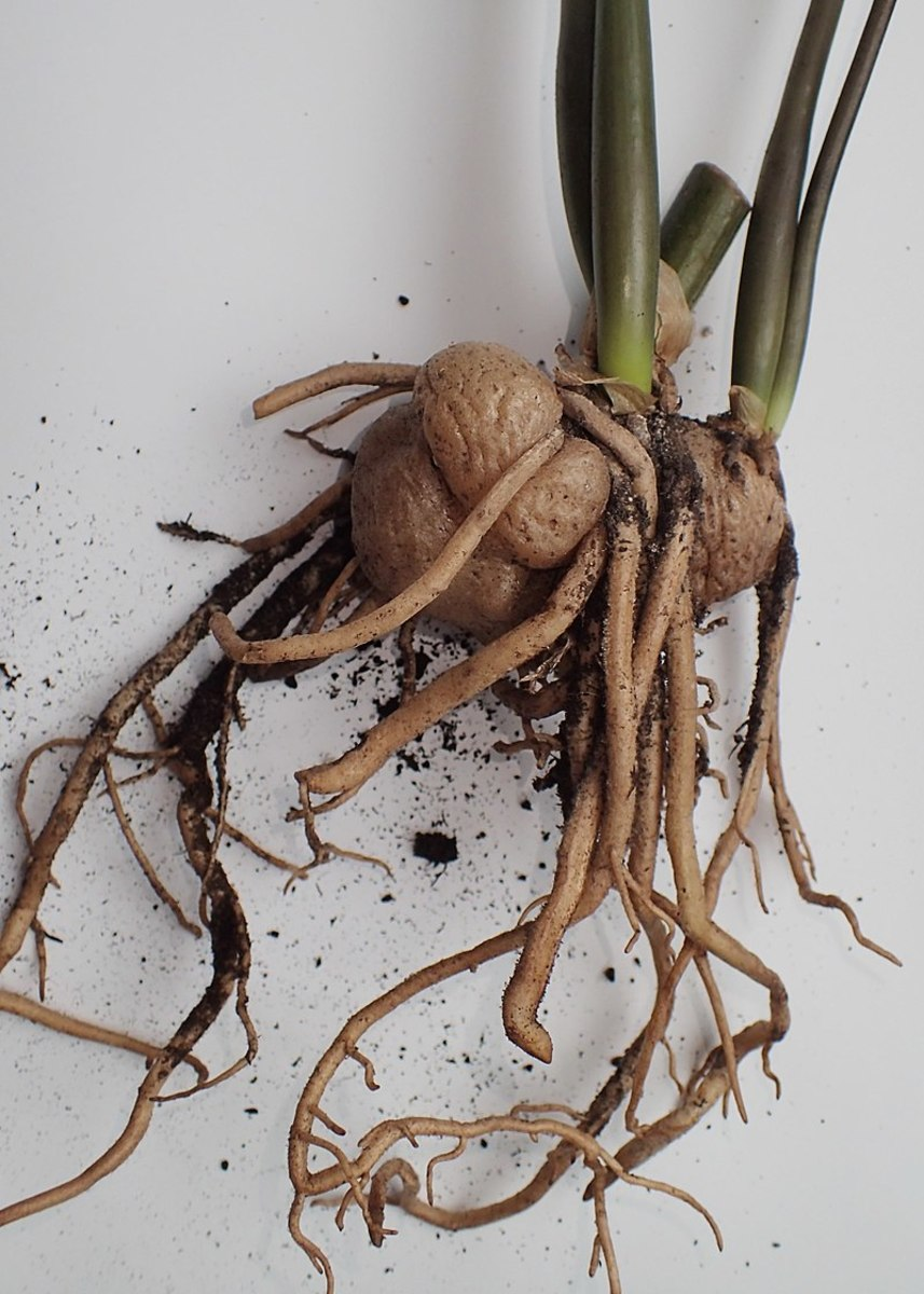 The rhizomes store water to keep the plant alive during dry periods.