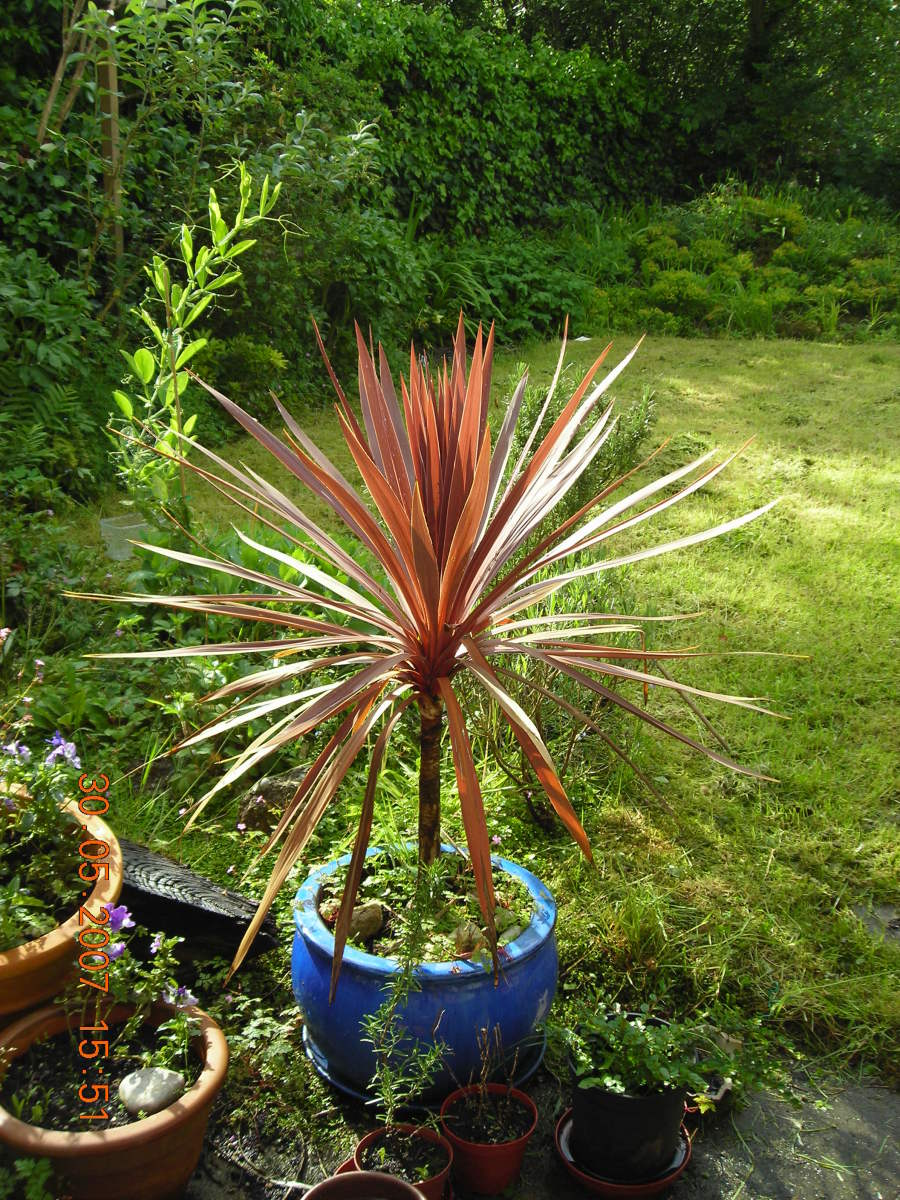 Cordyline With Golden Brown Leaves