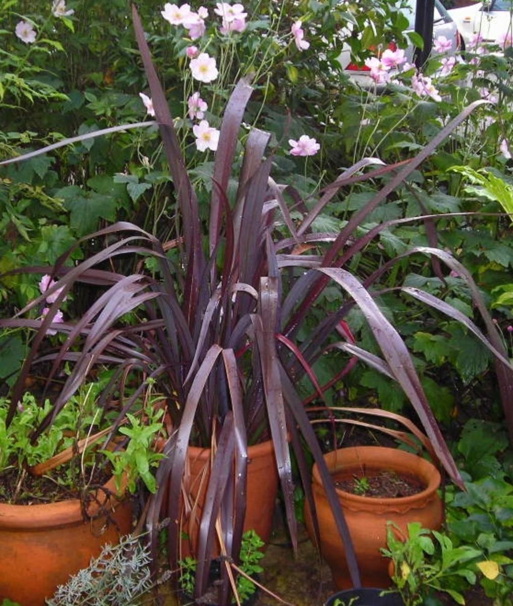 Phormium With Purple Leaves