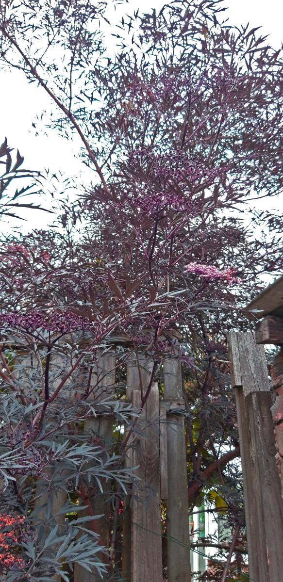Sambucus Negro (Elder or Elderberry)