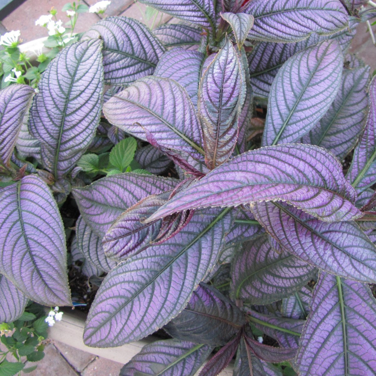 Strobilanthes Dyerianus (Persian Shield)