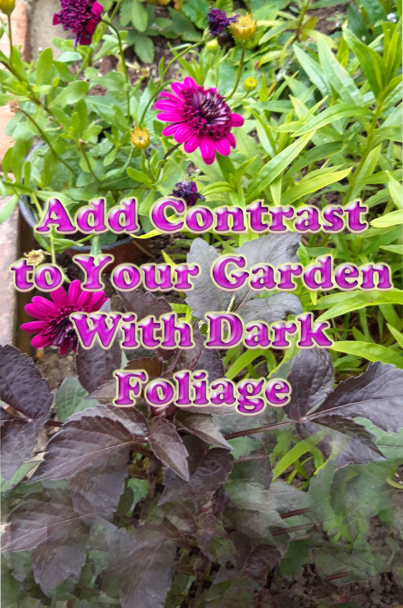 7 Plants for Adding Contrast to Your Garden With Dark Foliage