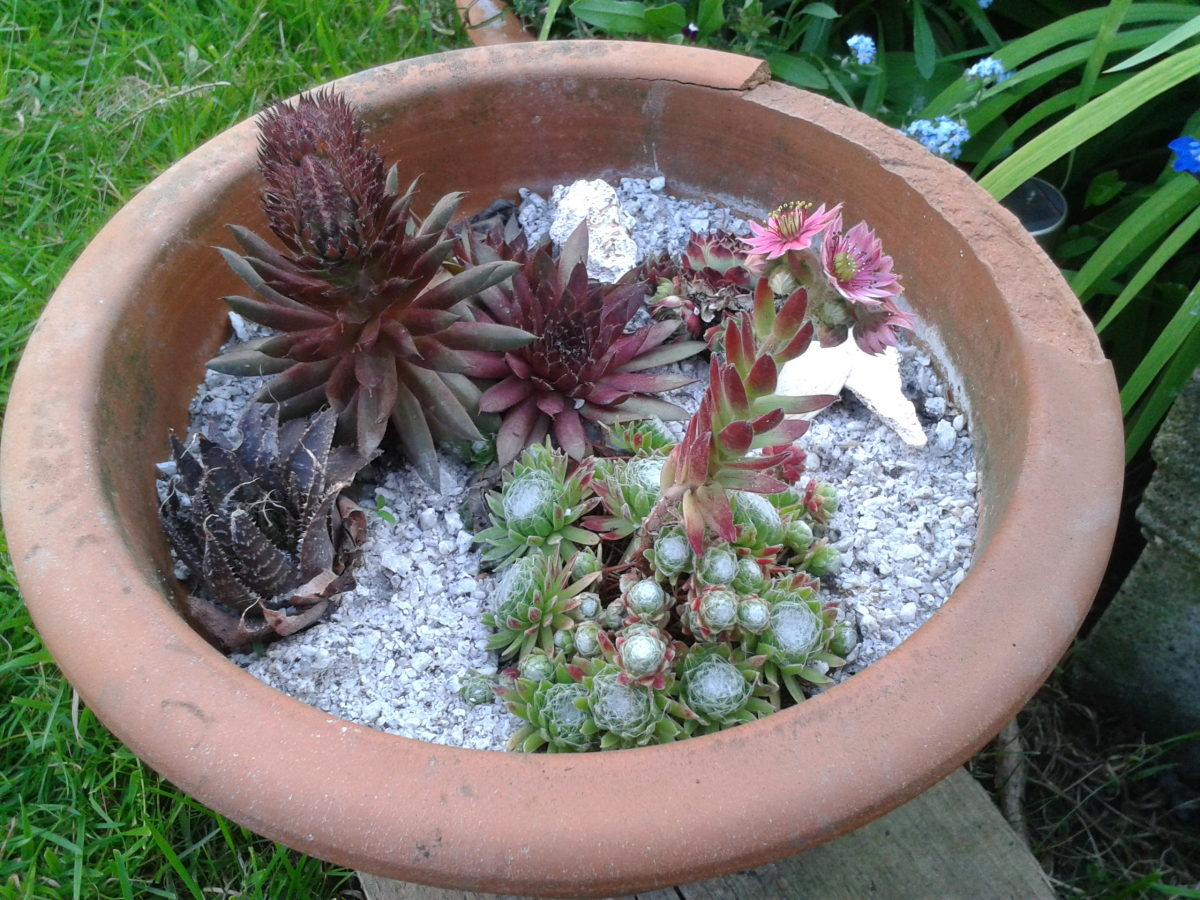 Purple and Green Echiveria Succulents