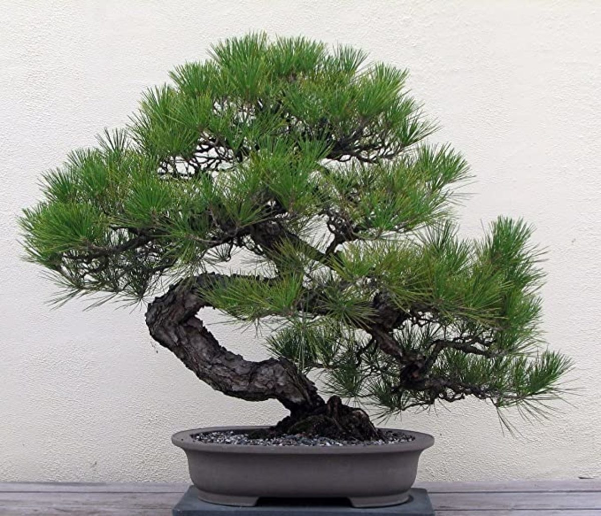 Starting Your First Bonsai Tree