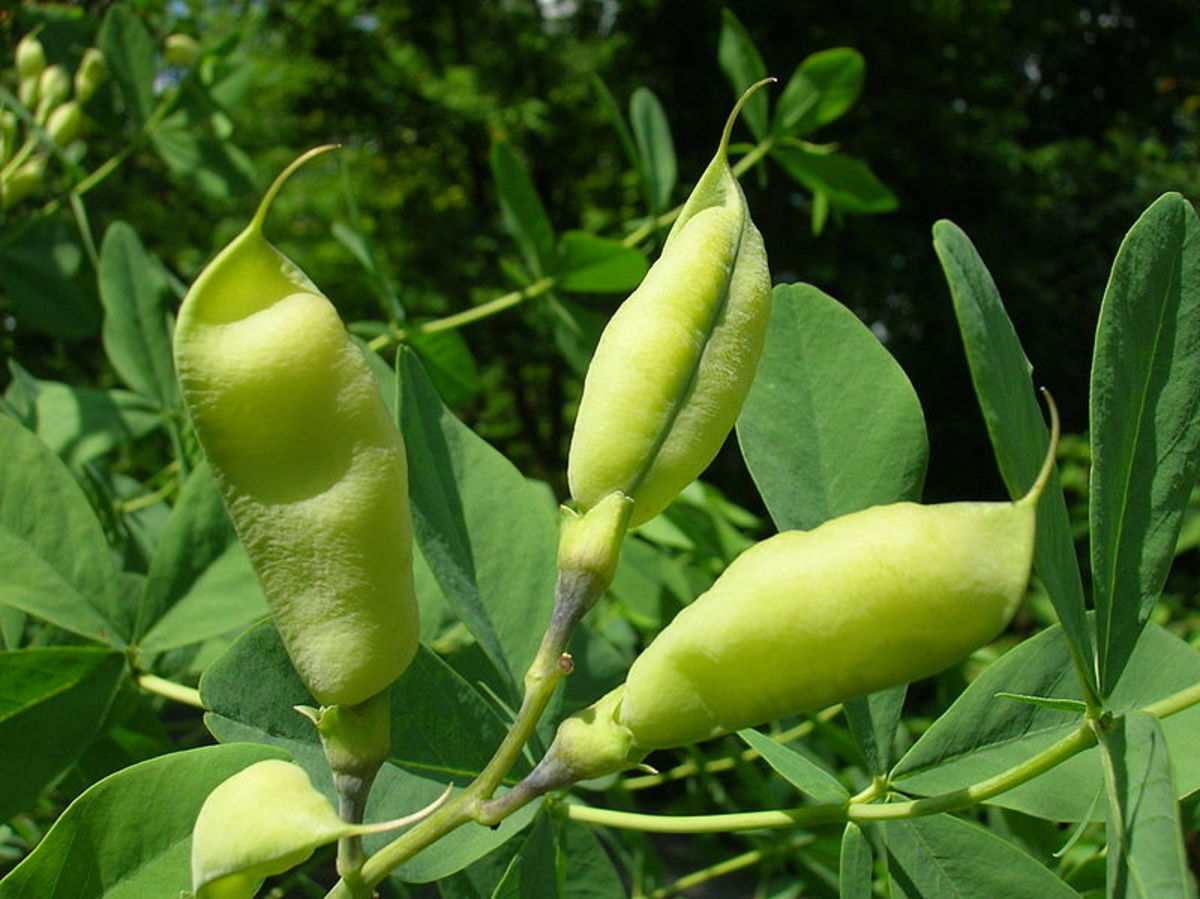 The seed pods look like pea pods.