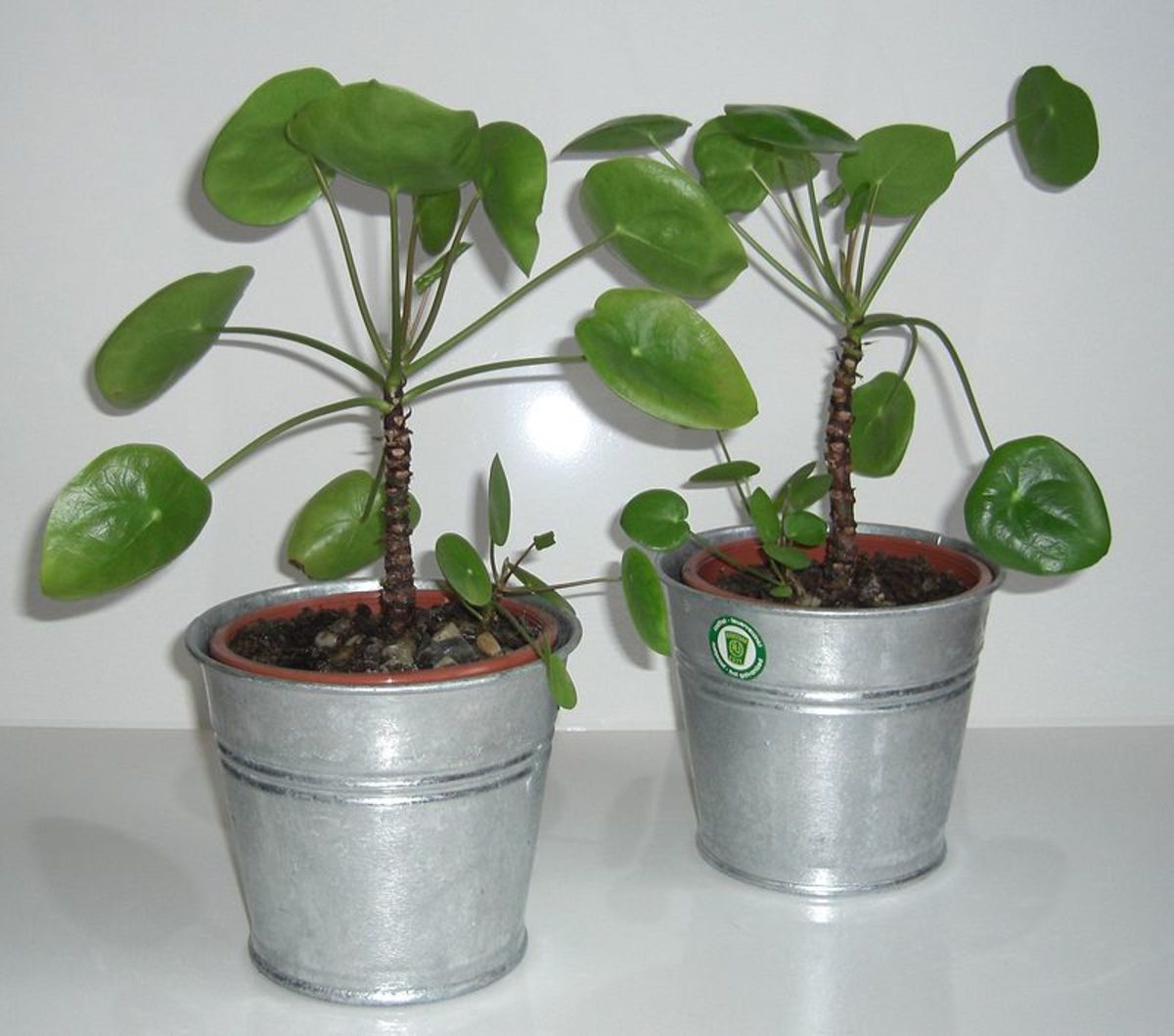 The plants are propagated via offsets which can be separated from the parent plant.