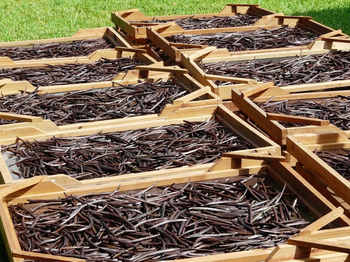 Vanilla beans being dried.