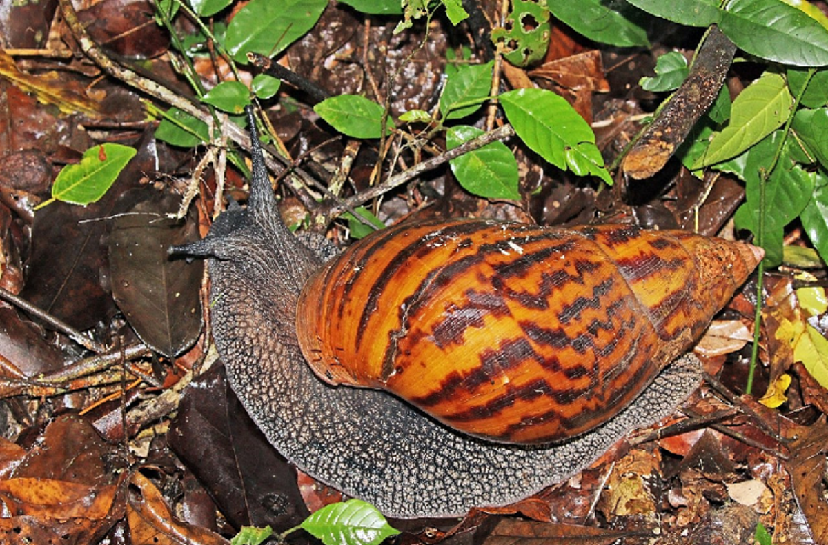 Giant tiger snails like this one are some of the best breeders for snail farming.