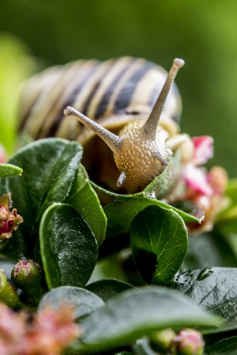 When you should harvest your snails depends on the preferences of those who plan to consume them, whether based on the desires of your buyers or your own.