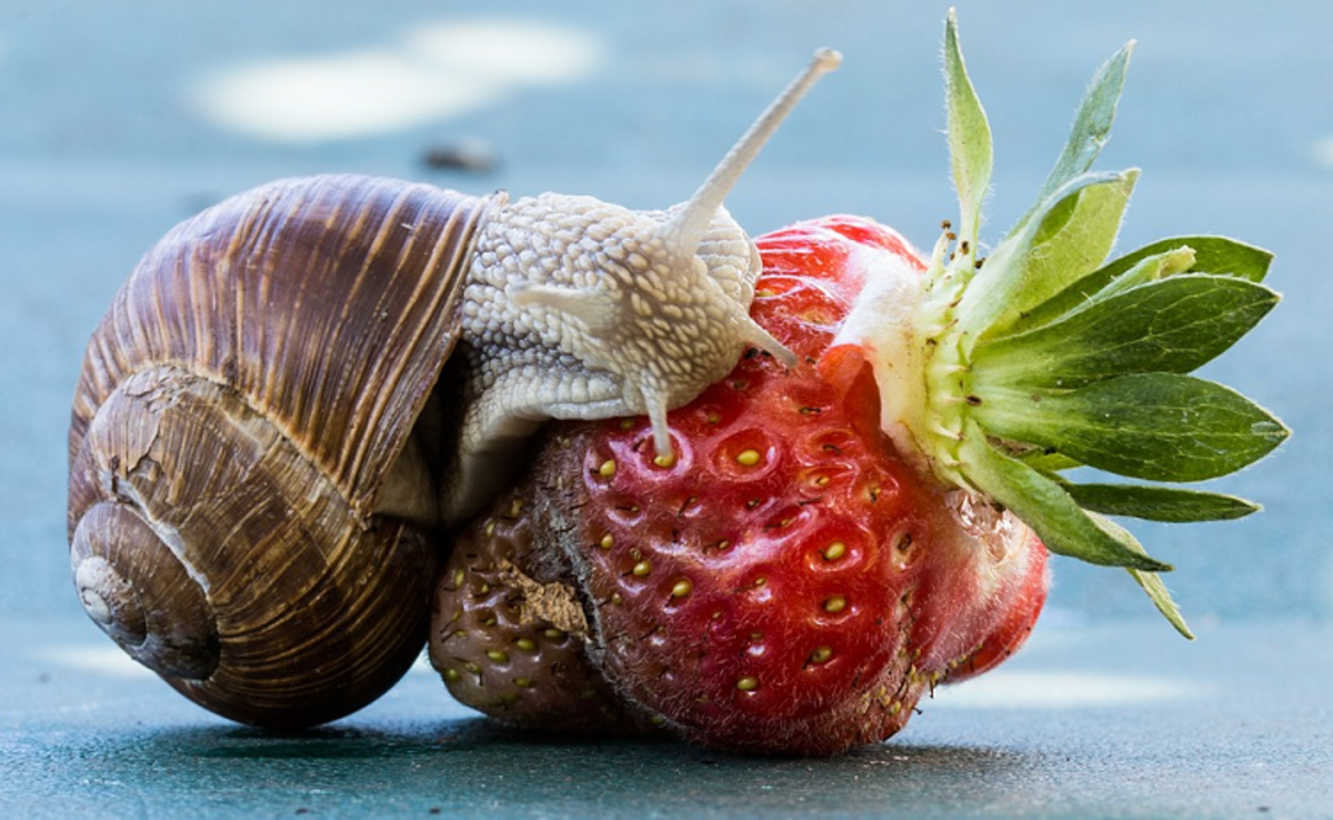 Fruits like strawberries, bananas, and pears are great feed for snails.