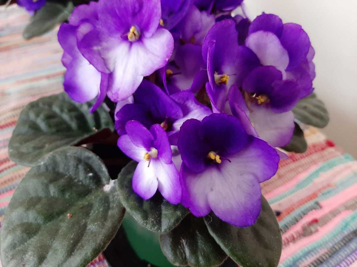 Purple and white African violet