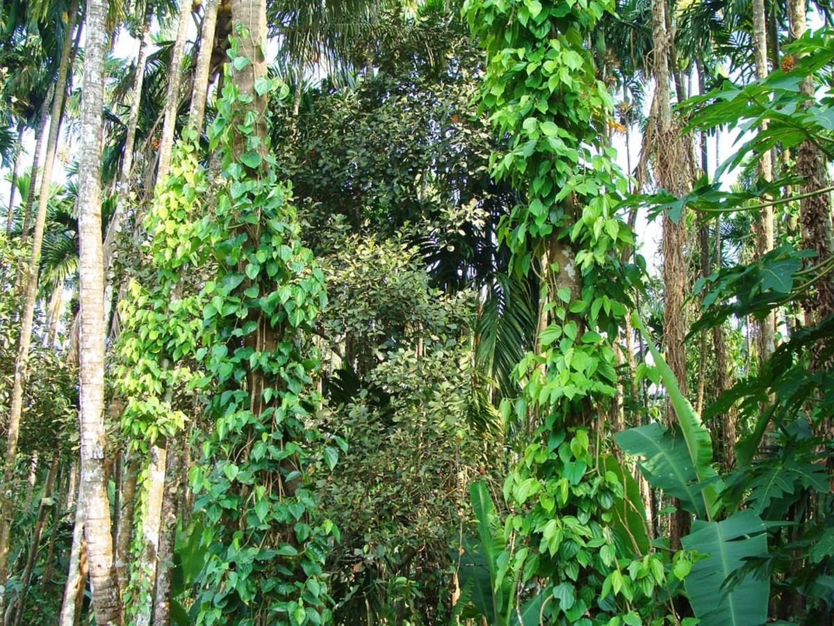 Tall black pepper vines.