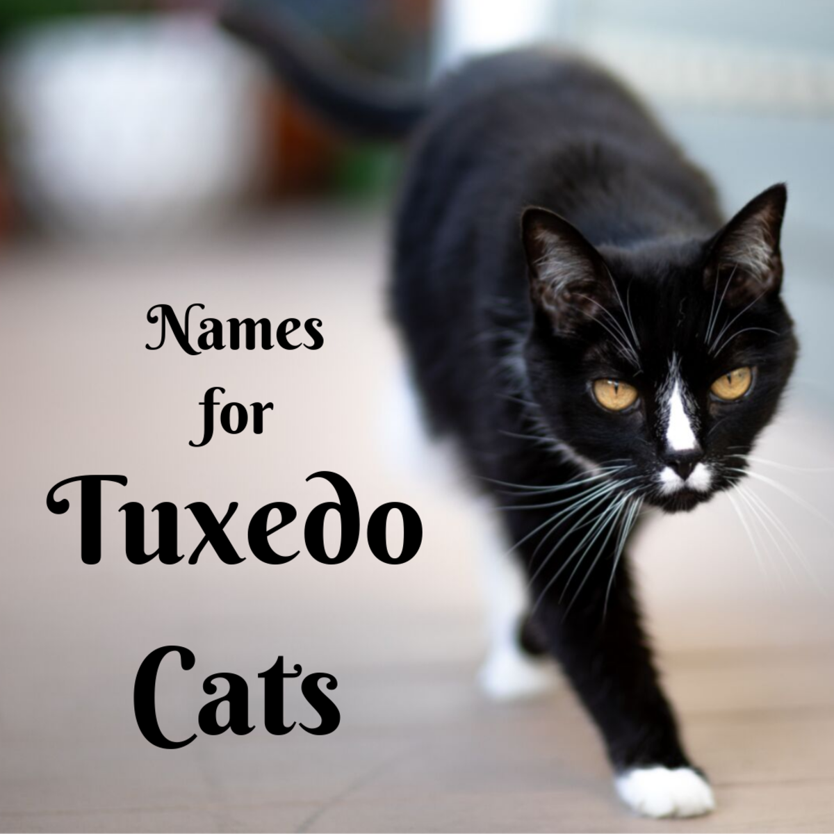 Creative Tuxedo Cat Names (Female and Male)