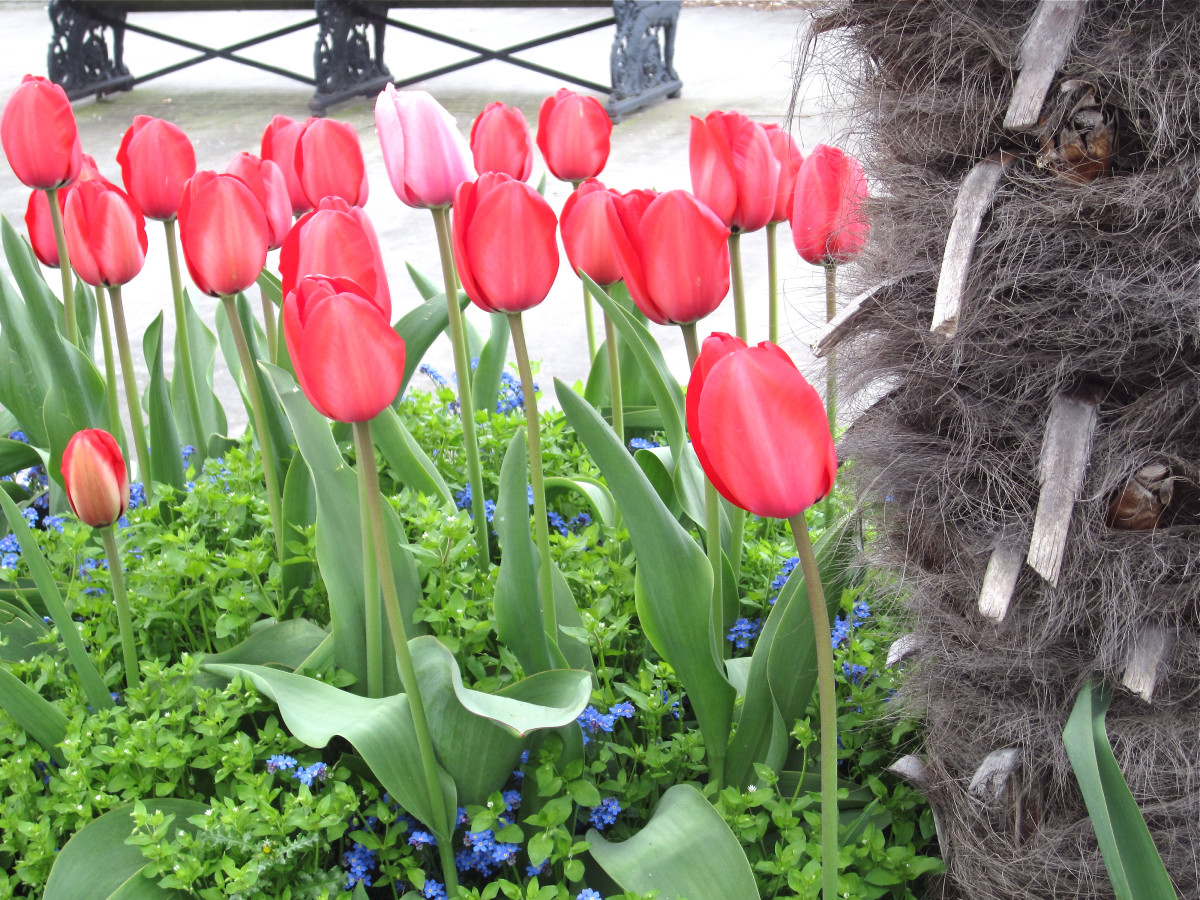 The toxin in tulips are concentrated in the bulbs, although it is present throughout the plant.