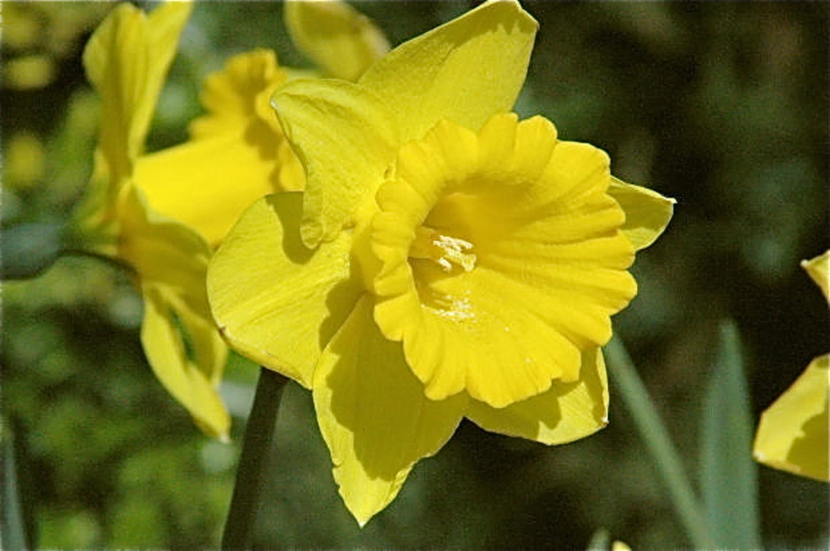 Daffodils are beautiful, but their bulbs are poisonous.