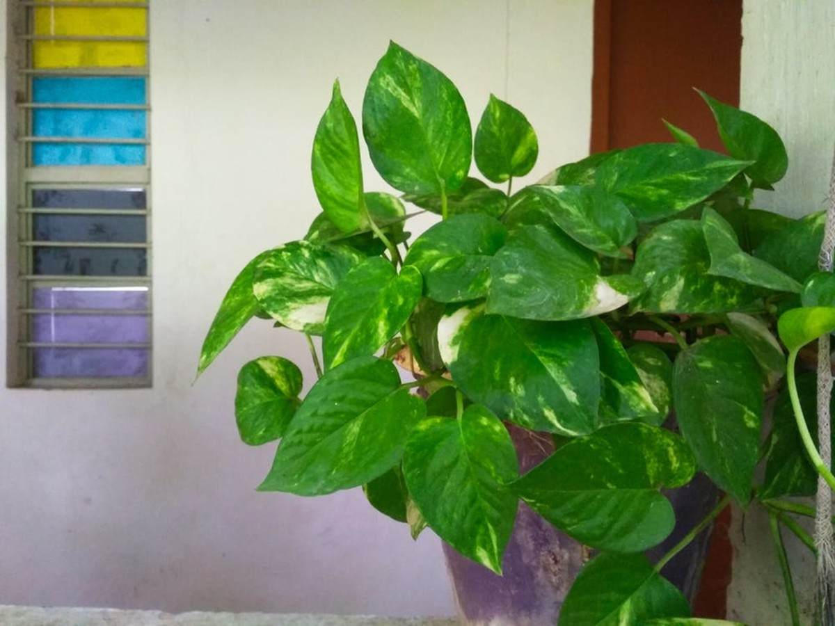 Devil's ivy (Epipremnum aureum), or money plant, is considered mildly to moderately toxic to children, dogs, and cats.