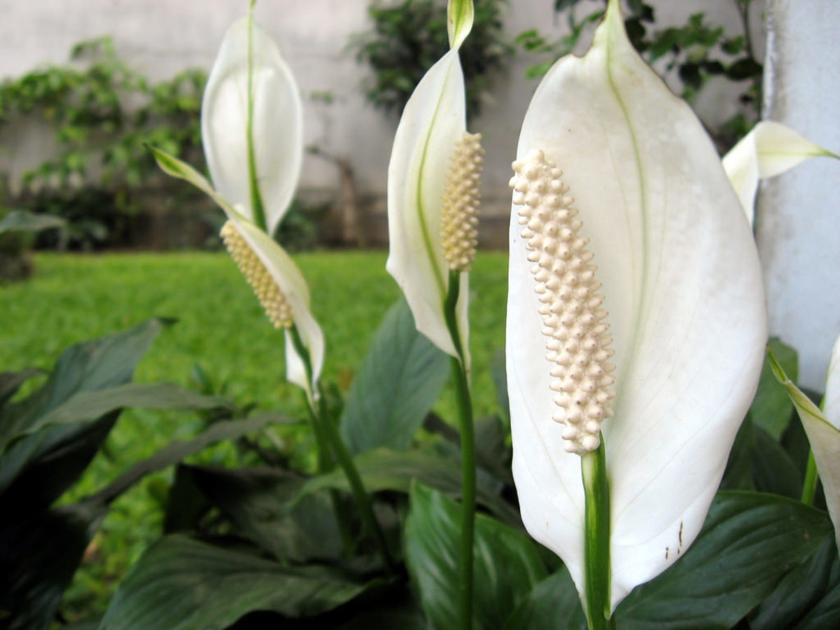 The peace lily contains oxalate crystals that are toxic to both humans and pets.
