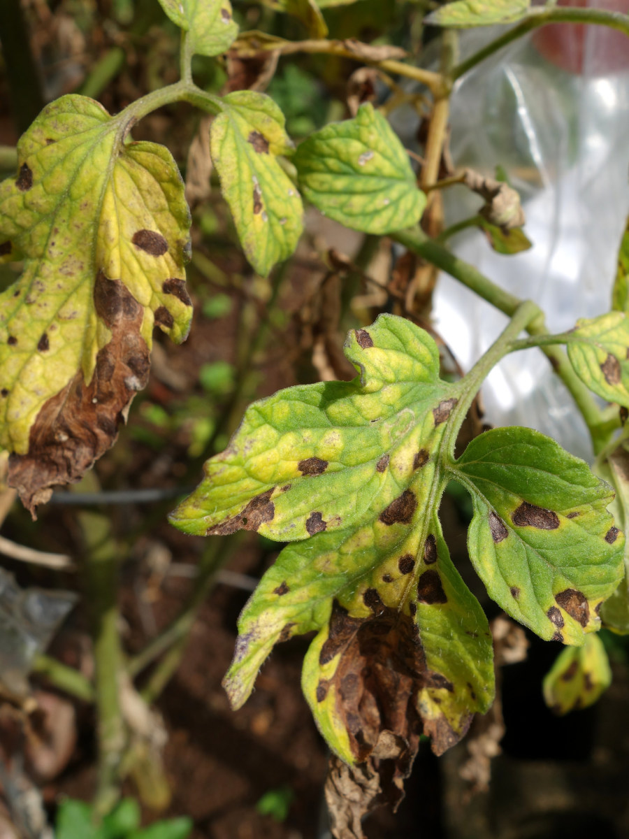 Septoria leaf rot looks like gray or brown spots surrounded by areas of yellow.