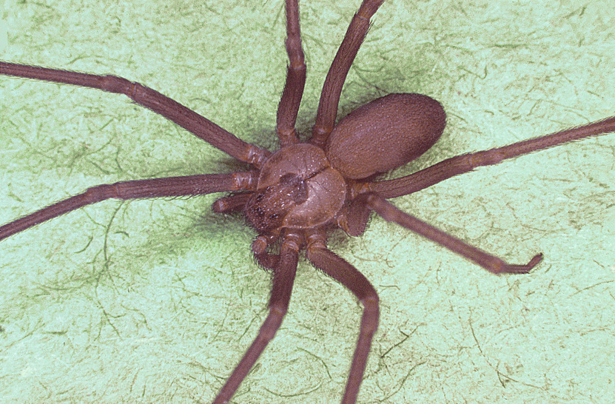The brown recluse spider.