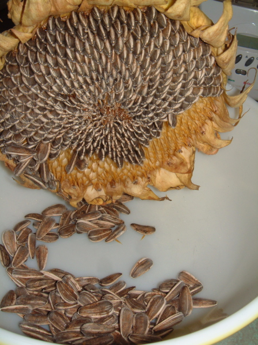 When the seeds are fully dry, they can be brushed out of the head easily with your fingers.