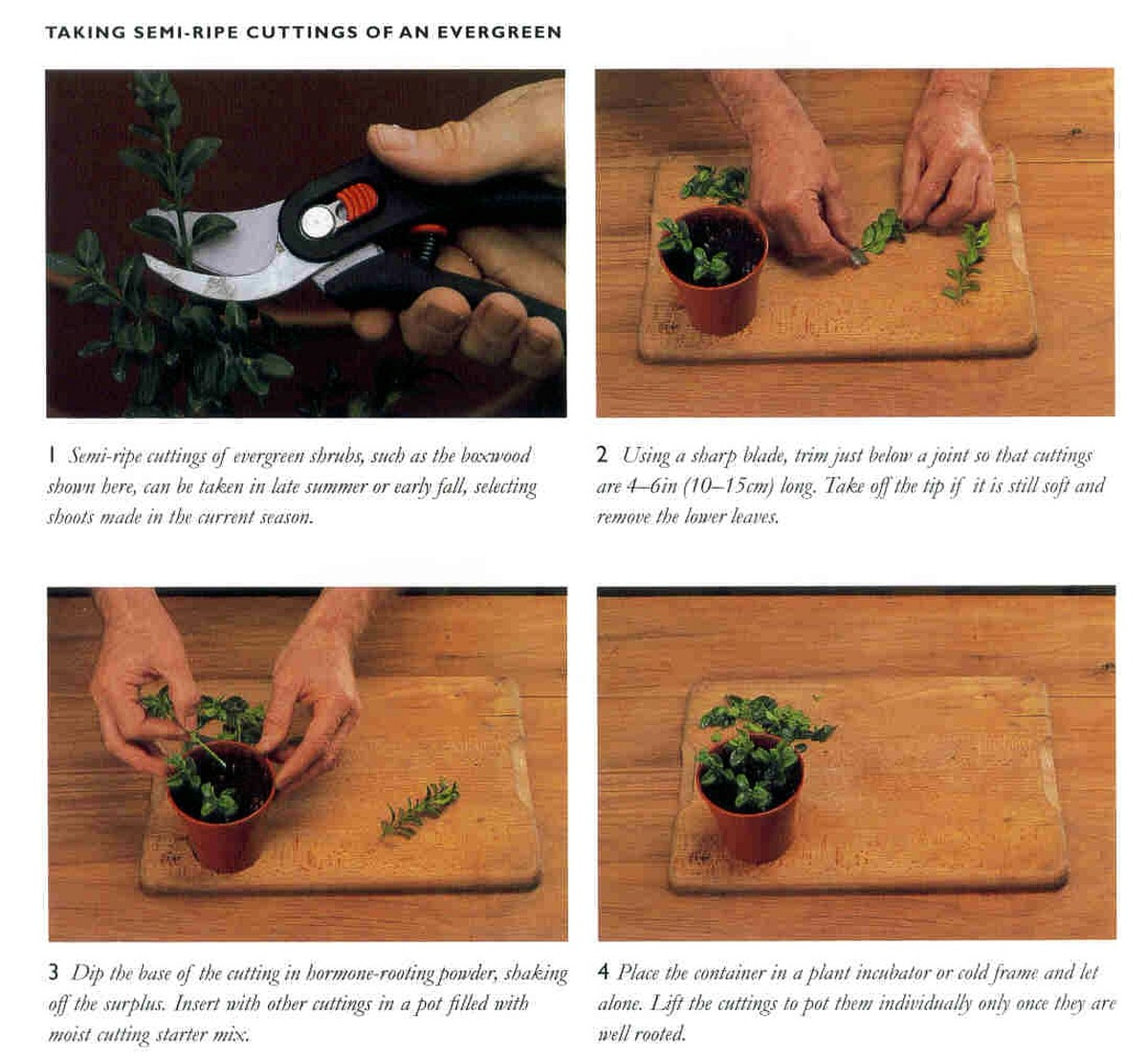 2 - Semi-ripe cutting. Please note VERY sharp knife/scissors - they make a difference