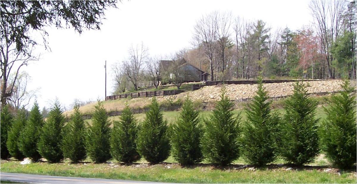 As the cuttings of my Leyland Cypress grew....